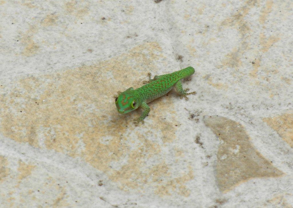 Mini Gecko