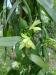 Vanilleblüte in der Plantage